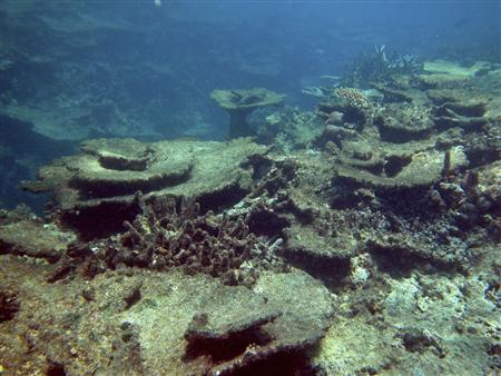 Crown-of-thorns damage on Beaver Reef is seen in this undated handout photo released on October 2, 2012. Researchers from the Australian Institute of Marine Science (AIMS) in the northeastern city of Townsville say Australia's Great Barrier Reef has lost half of its coral in little more than a generation. And the pace of damage has picked up since 2006. REUTERS/Australian Institute of Marine Science/AIMS Long-term Monitoring Team/Handout