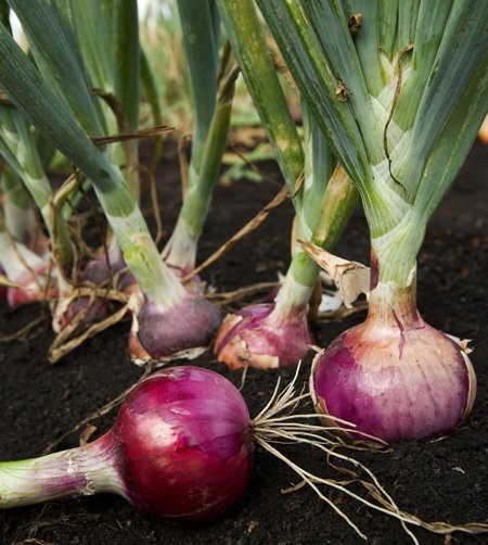 There 39 s no onion crisis alcala - Unknown uses for an onion ...