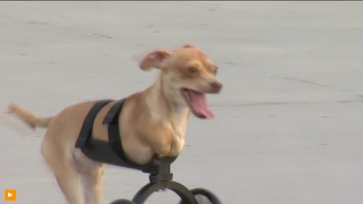 A puppy born with two legs runs with prosthetic cart. REUTERS