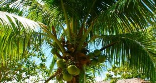 Coconut – The tree of life