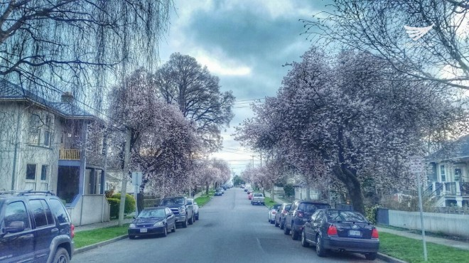 Cherry blossoms as seen in a street in Canada