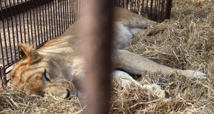 Planeload of 33 rescued lions to fly from Peru to S. Africa
