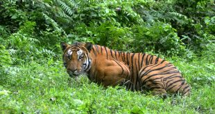 More tigers poached so far this year than in 2015: census