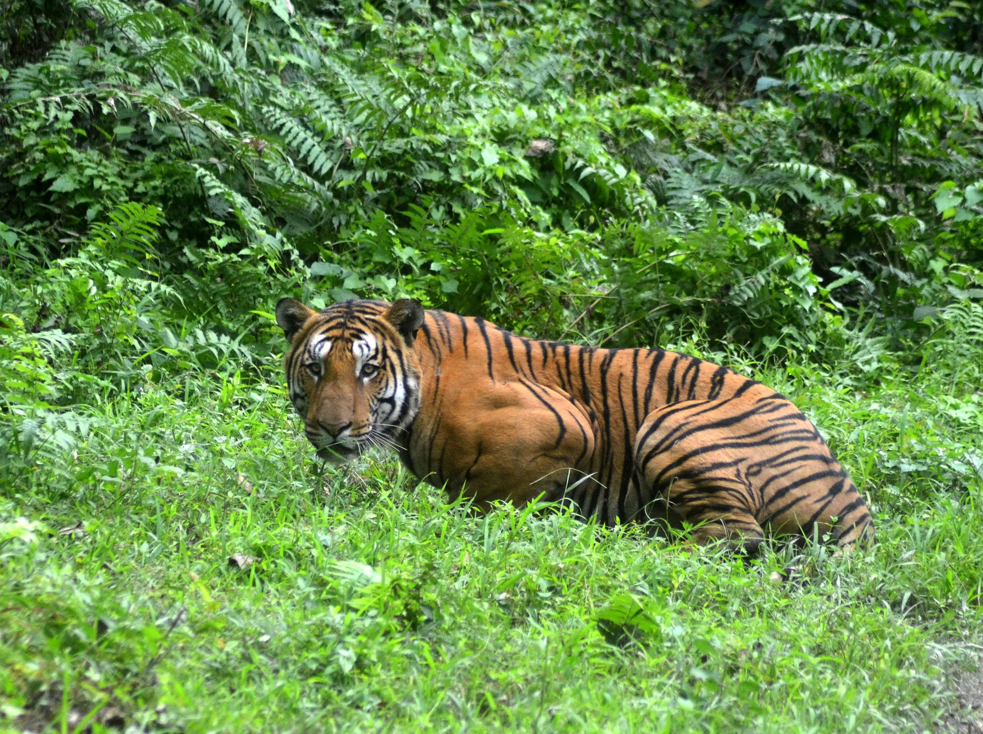 белый тигр в индии видео