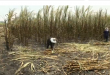 Thai sugar cane farmers are taking the hit from one of the country's worst droughts, affecting the output forecast of the world's second largest sugar exporter in the coming year.(photo grabbed from Reuters video)