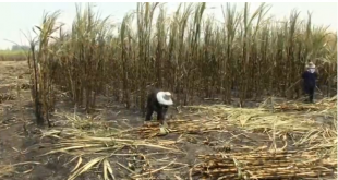 Drought hits Thai sugar farms, next year's crop dying