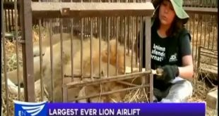 Largest ever lion airlift