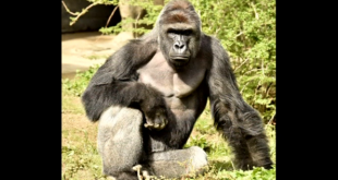 A 3 year old boy is rescued from the grip of a gorilla