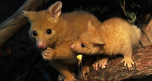 Australian rodent species first victim of climate change?