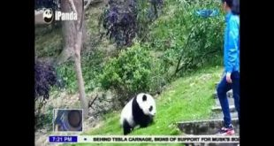 Giant Pandas, nag enjoy sa kanilang air conditioned cell