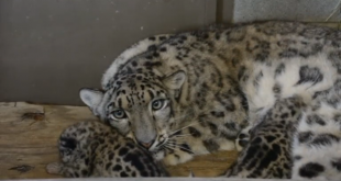 New video footage of baby snow leopards, an endangered species at Virginia zoo