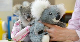 Orphaned baby Koala finds fluffy toy friend