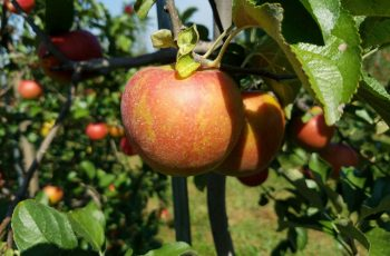 Apples waiting to be picked on a hot summer day in Poolesville, Maryland  Photo by Geoffrey Nolasco (Eagle News Washington D.C. Bureau)