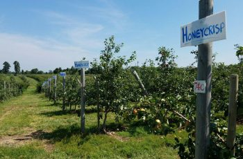 Apple trees at Homestead Farm in Poolesville, Maryland  Photo by Geoffrey Nolasco (Eagle News Washington D.C. Bureau)