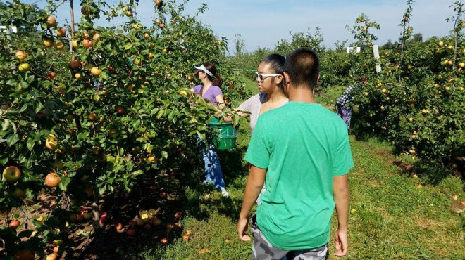 Apple pickers take advantage of last weekend before school begins in Maryland, USA