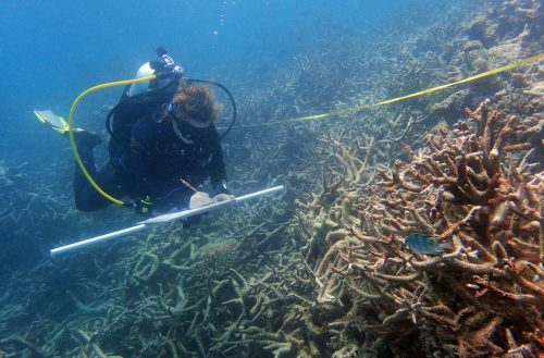"An undated handout photo received from the Australian Research Council Centre of Excellence for Coral Reef Studies on October 26, 2016 shows coral surveyor Margaux Hein swimming over a field of recently dead branching corals near Lizard Island. More corals are dying and others are succumbing to disease and predators after the worst-ever bleaching on Australia's iconic Great Barrier Reef, scientists said on October 26. / AFP PHOTO / Australian Research Council Centre of Excellence for Coral Reef Studies / Greg Torda / RESTRICTED TO EDITORIAL USE - MANDATORY CREDIT ""AFP PHOTO / AUSTRALIAN RESEARCH COUNCIL CENTRE OF EXCELLENCE FOR CORAL REEF STUDIES / Greg TORDA"" - NO MARKETING NO ADVERTISING CAMPAIGNS - DISTRIBUTED AS A SERVICE TO CLIENTS - NO ARCHIVES"