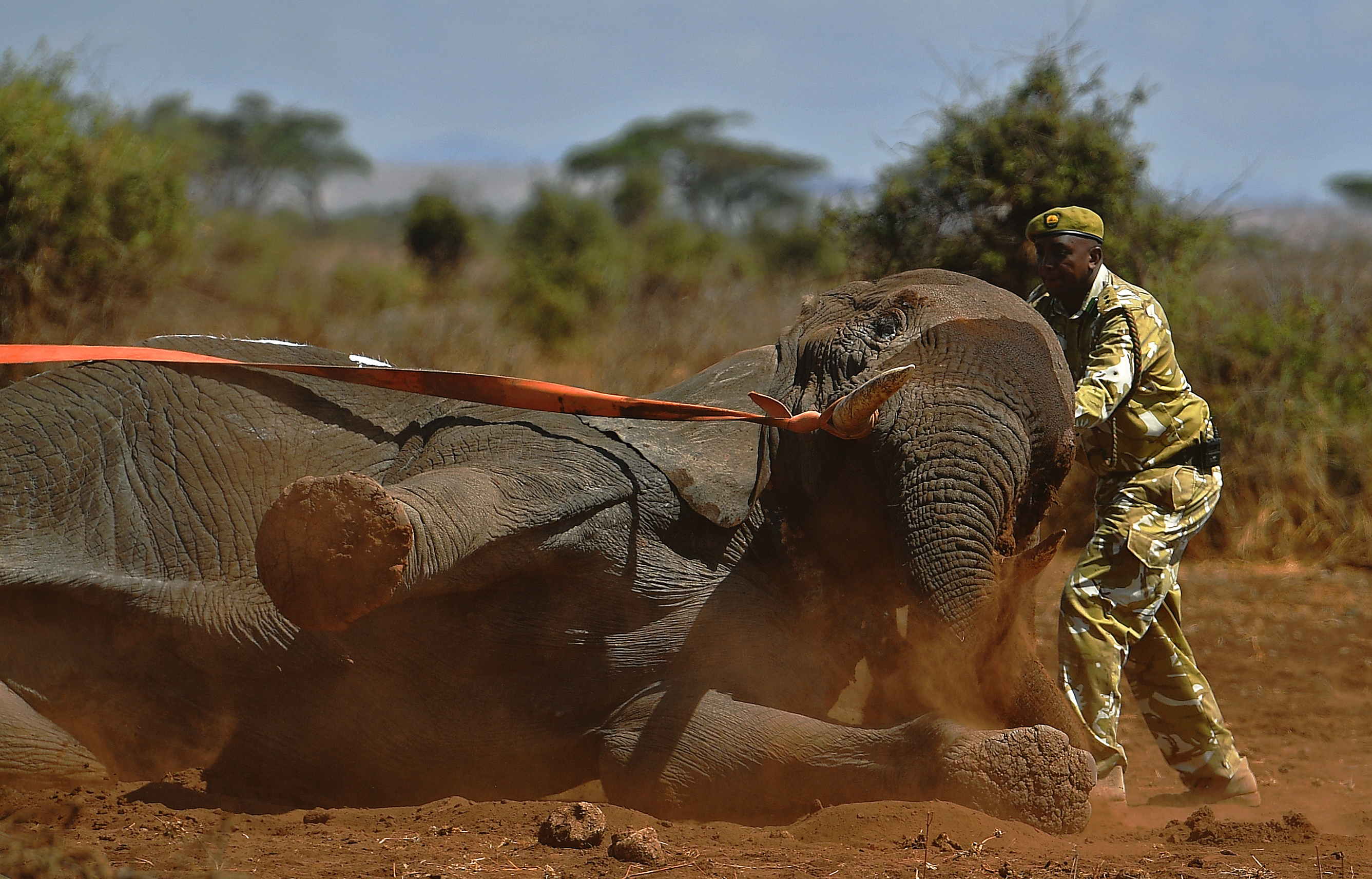 An elephant wearing a fitted electronic collar begins to wake up as its tranquilizer is reversed by vets at the Amboseli National Park on November 2, 2016.  The International Fund for Animal Welfare (IFAW) is collaring two young male elephants from the Amboseli region to better understand their migration routes. As Kenya's population increases dramatically every year more land traditionally used by elephants as routes is being populated and developed and elephants have been impacted. IFAW intends to study data from the collared elephants movements to plot how this impact affects them. / AFP PHOTO / CARL DE SOUZA