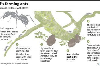 Graphic on a species of ants found to farm plants for their own use. For an AFP science story on the symbiotic relationship.