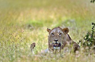 A young lion sits at the Ol-Pejeta conservancy in Laikipia county, approximately 200 kilometres north of the Kenyan capital, Nairobi on July 8, 2016.  Conservationists will fit collars on two of its lions to monitor their movement and resulting interaction patterns with surrounding communities in a bid to improve protection for both the big cats and communities in the wake of increasing conflicts.  / AFP PHOTO / TONY KARUMBA