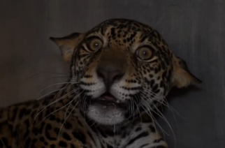 Found paralysed and near death, D'yaira the jaguar is now up and moving and on her way to an animal sanctuary after being nursed back to health in Quito. (Photo grabbed from Reuters video)
