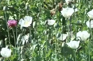 Myanmar farmers are finding it difficult to switch away from opium crops, as the UN drugs agency tries to eradicate the illicit trade.(photo grabbed from Reuters video)