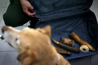 FILES: Rosie, a sniffer dog in service with Hong Kong's Agriculture, Fisheries and Conservation Department (AFCD), waits for a treat as a reward during an ivory detection training run in Ping Che district of the New Territories in Hong Kong on January 28, 2016. The AFCD provided access to the Hong Kong media to demonstrate how detector dogs are used to combat the trade in smuggled animals and animal products. Hong Kong is considered a major transit hub for the world Ivory trade. AFP PHOTO