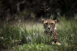 "A Juvenile male cheetah is pictured inside a closed camp at the Ann van Dyk Cheetah Centre on December 30, 2016 in Hartbeespoort, South Africa.  Cheetahs are ""sprinting"" to extinction due to habitat loss and other forms of human impact, according to a new study out this week which called for urgent action to save the world's fastest land animals. / AFP PHOTO / JOHN WESSELS"