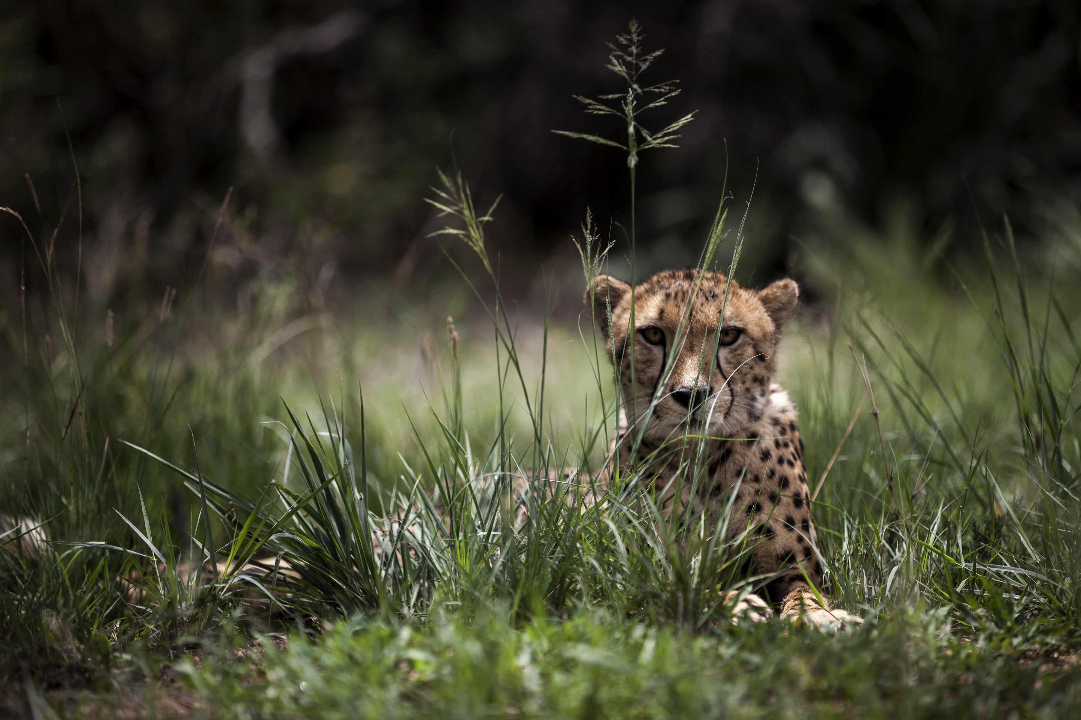 """A Juvenile male cheetah is pictured inside a closed camp at the Ann van Dyk Cheetah Centre on December 30, 2016 in Hartbeespoort, South Africa.  Cheetahs are """"sprinting"""" to extinction due to habitat loss and other forms of human impact, according to a new study out this week which called for urgent action to save the world's fastest land animals. / AFP PHOTO / JOHN WESSELS"""