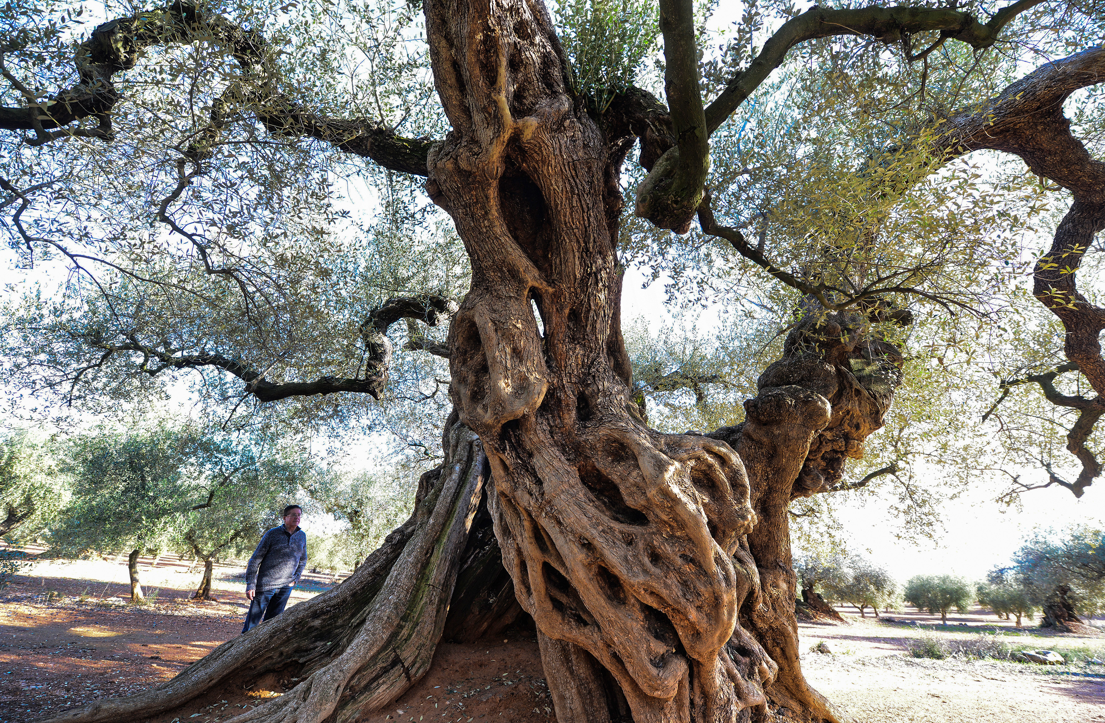 """A man looks at the millennia old olive tree, famous for """"staring"""" in the film """"the Olive"""" by Spanish director Iciar Bollain , in an olive grove in the municipality of Uldecona, on December 6, 2016. The sun sets in eastern Spain and dozens of ancient olive trees cast long shadows on the ground.  / AFP PHOTO / JOSE JORDAN / TO GO WITH AFP STORY BY Michaela CANCELA-KIEFFER"""
