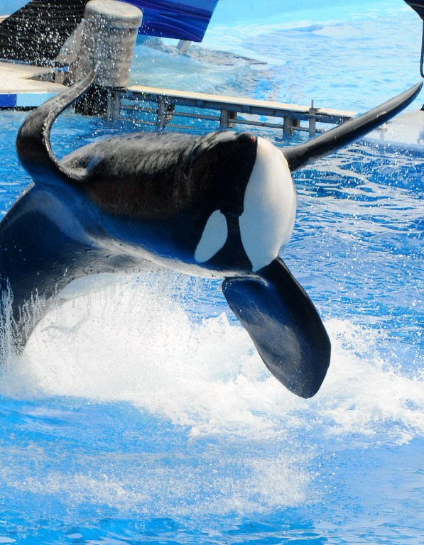 "(FILES) This file photo taken on March 29, 2011 shows  Killer whale ""Tilikum"" during its performance in its show ""Believe"" at Sea World in Orlando, Florida.  Tilikum,an orca whale made famous by the US documentary ""Blackfish"" died on January 6, 2017 at the age of 36, announced via a tweet at SeaWorld theme park located in Orlando, Florida. A cause of death had not been determined, though he was being treated for a persistent bacterial infection. / AFP PHOTO / GETTY IMAGES NORTH AMERICA / GERARDO MORA"