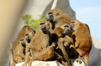 A photo taken on August 10, 2015 shows a family of Guinea Baboons standing on a rock at the Paris Zoological Park (parc zoologique de Paris), formerly known as the Bois de Vincennes Zoological Park, in Paris . The zoo reopened to the public on April 12, after 6 years of renovation work . AFP PHOTO / BERTRAND GUAY / AFP PHOTO / BERTRAND GUAY
