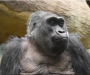 Oldest gorilla in captivity dies in Ohio at 60-years-old