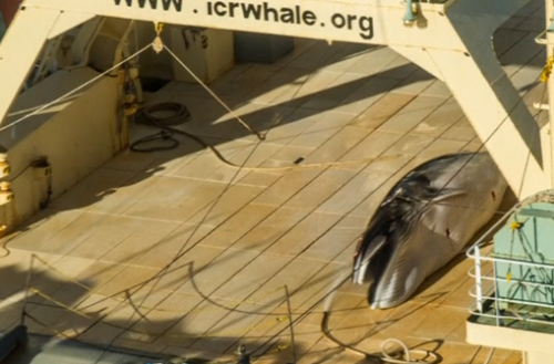 Anti-whaling activists Sea Shepherd publishes images of a dead whale onboard a Japanese vessel in the Southern Ocean, just days after Australian and Japanese leaders were discussing the issue.(photo grabbed from Reuters video)