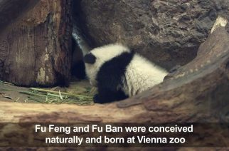Vienna panda twins have their first public outing