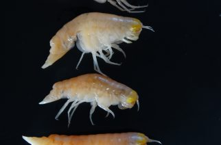 "A handout photo released on February 9, 2017 by Nature shows ultra-deepwater amphipod Hirondellea gigas from the deepest depths of the Mariana Trench in the Northwest Pacific Ocean. This species is known to inhabit depths of 6000 to nearly 11,000m. Banned chemicals are tainting tiny crustaceans that inhabit the deepest ocean, a study said on February 13, 2017 -- the first evidence that humans are polluting even the farthest reaches of our planet. Even at depths of nearly 11 kilometres (seven miles) these scavengers could not escape ""extraordinary"" levels of contamination with chemicals used in coolants and insulating fluids, researchers said.  / AFP PHOTO / NATURE PUBLISHING GROUP / Dr. Alan JAMIESON / RESTRICTED TO EDITORIAL USE - MANDATORY CREDIT ""AFP PHOTO / NATURE / DR. ALAN JAMIESON / NEWCASTLE UNIVERSITY"" - NO MARKETING NO ADVERTISING CAMPAIGNS - DISTRIBUTED AS A SERVICE TO CLIENTS - TO GO WITH AFP STORY BY MARIETTE LE ROUX"