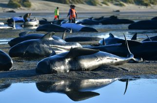 This picture taken on February 11, 2017 shows pilot whales lying on a beach during a mass stranding at Farewell Spit. Most of the more than 200 whales who became stranded on New Zealand's notorious Farewell Spit on the weekend have been able to refloat themselves, conservation officials said on February 12.  / AFP PHOTO / Marty MELVILLE