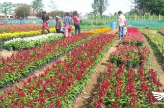 Amazing Sunflower Maze ng Allied Botanical Corporation pormal ng binuksan sa publiko