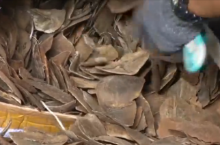 Thailand has seized 2.9 tonnes of pangolin scales worth more than $800,000 that were smuggled from Congo and destined for Laos.(photo grabbed from Reuters video)