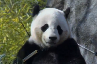 Officials at the Smithsonian National Zoo in Washington prepare giant panda Bao Bao for her trip to China. (Photo grabbed from Reuters video)