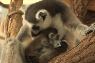Vienna's Schoenbrunn Zoo has welcome two new additions to its enclosures - twin ring-tailed baby lemurs.(photo grabbed from Reuters video)