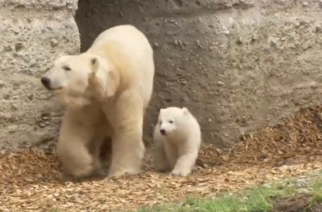 A polar bear cub at Munich zoo has been named Quintana.(photo grabbed from Reuters video)