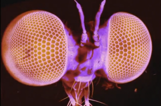A tiny fly, the size of a grain of rice, could be the Top Gun of the insect world after Cambridge scientists identified its remarkable ability to detect and intercept its prey mid-air. (Photo grabbed from Reuters video)