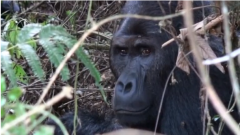 Some of the world's leading primatologists have warned that more than half of the world's primate species are at risk of extinction, due to increasing anthropogenic pressures on their habitats.(photo grabbed from Reuters video)