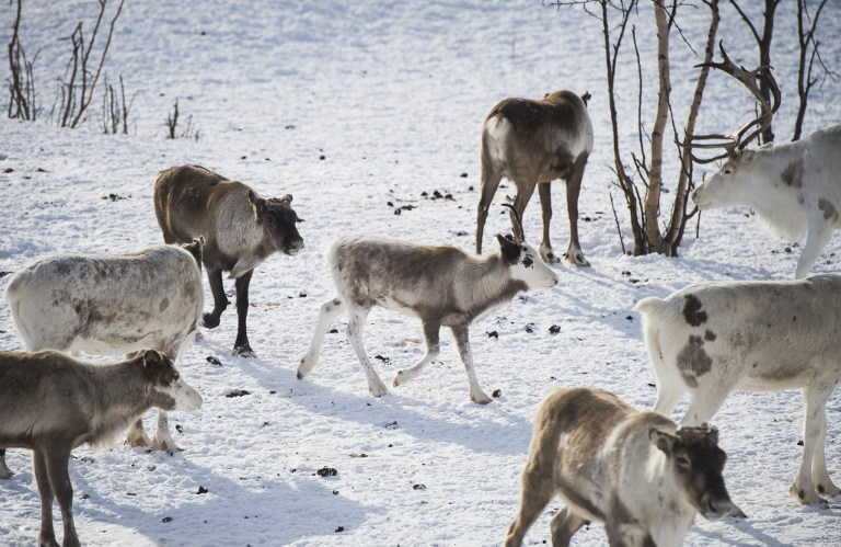 "Reindeer are pictured in Kautokeino, a town in Finnmark county, located in the northeastern part of Norway, on March 16, 2017. It's the ""reindeer police"" in Norwegian Lapland, the only force of its kind in the world. Their job is to prevent conflicts between herders and ensure the Far North doesn't turn into the Wild West. / AFP PHOTO / Jonathan NACKSTRAND"