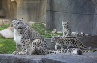 BROOKFIELD, IL - OCTOBER 07: Sarani, a female snow leopard, explores her habitat with her 4-month old cubs while they made their public debut at the Brookfield Zoo on October 7, 2015 in Brookfield, Illinois. The cubs have been behind the scenes bonding with their mother since their June 16 birth. With an estimated 4,000 to 6,500 remaining in the wild, snow leopards are listed as an endangered species by the International Union for Conservation of Nature (IUCN).   Scott Olson/Getty Images/AFP