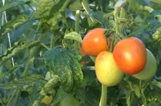 How technology helps freezing city grow tomatoes all year round