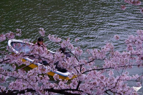 A woman on a boat as cherry blossoms abound in Tokyo, Japan (Photo by Fleur Amora, Eagle News Service)
