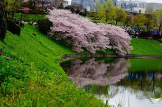 Sakura flowers, or cherry blossoms, start in Japan.  (Photo by Fleur Amora, Eagle News Service)