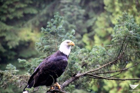 Bald eagle at the Capilano Suspension Bridge in Vancouver, Canada.  (Photo by Dale Duazon, EBC Canada)