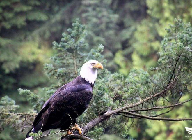 Featured photo:  Eagle perched on a tree branch (Photo taken from Capilano suspension bridge in Canada)
